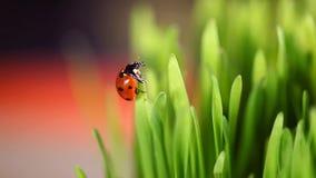 Ladybug στα πράσινα φύλλα φιλμ μικρού μήκους