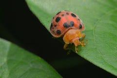 ladybug στην άκρη του φύλλου στοκ φωτογραφία