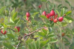 Ladybug στην άκρη του briar μούρου αναγνωρίσιμο κόκκινο που επισημαίνεται πίσω Στοκ Εικόνες