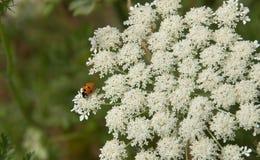 Ladybug στην κινηματογράφηση σε πρώτο πλάνο δαντελλών βασίλισσας Anne's Στοκ εικόνες με δικαίωμα ελεύθερης χρήσης