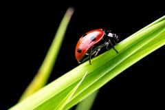 Ladybug στην πράσινη χλόη Στοκ Εικόνες