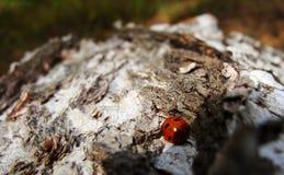 Ladybug στη σημύδα στοκ φωτογραφία με δικαίωμα ελεύθερης χρήσης