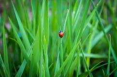 Ladybug στη χλόη 2 Στοκ Εικόνα