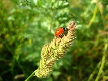Ladybug στη χλόη Στοκ Φωτογραφία