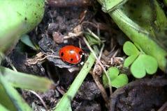 Ladybug στον κήπο Στοκ Φωτογραφίες