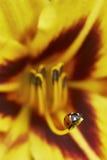 Ladybug στον κρίνο λουλουδιών Στοκ Εικόνα