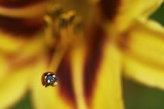 Ladybug στον κρίνο λουλουδιών Στοκ Εικόνες