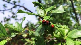 Ladybug στον πράσινο κλάδο στην εποχή ζευγαρώματος απόθεμα βίντεο
