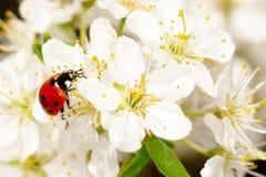 Ladybug στους ανθίζοντας κλάδους οπωρωφόρων δέντρων Στοκ εικόνα με δικαίωμα ελεύθερης χρήσης