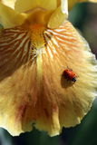 Ladybug στο γενειοφόρο κίτρινο πέταλο της Iris Στοκ εικόνες με δικαίωμα ελεύθερης χρήσης