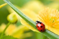 Ladybug στο κίτρινο λουλούδι Στοκ εικόνα με δικαίωμα ελεύθερης χρήσης