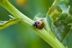 Ladybug στο μίσχο Στοκ Φωτογραφίες