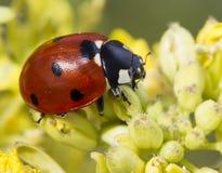 Ladybug στο λουλούδι Στοκ εικόνες με δικαίωμα ελεύθερης χρήσης