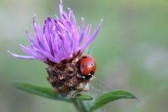 Ladybug στο πορφυρό λουλούδι κάρδων στοκ εικόνες με δικαίωμα ελεύθερης χρήσης
