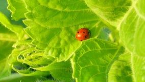 Ladybug στο πράσινο φύλλο απόθεμα βίντεο