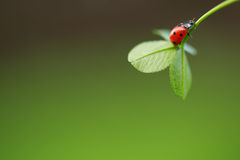 Ladybug στο πράσινο φύλλο Στοκ Εικόνες