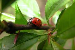 Ladybug στο δρόμο του Στοκ φωτογραφία με δικαίωμα ελεύθερης χρήσης