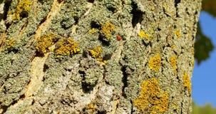 Ladybug στο φλοιό ενός δέντρου το φθινόπωρο φιλμ μικρού μήκους