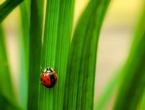 Ladybug στο φύλλο χλόης Στοκ Εικόνες