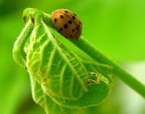 Ladybug στο φύλλο Στοκ εικόνα με δικαίωμα ελεύθερης χρήσης