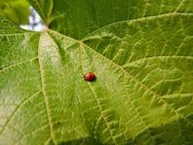 Ladybug στο φύλλο σταφυλιών στοκ φωτογραφίες με δικαίωμα ελεύθερης χρήσης