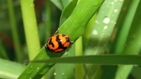 Ladybug στο φύλλο στο χορτοτάπητα Στοκ φωτογραφίες με δικαίωμα ελεύθερης χρήσης