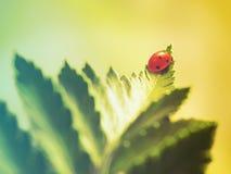 Ladybug στο φύλλο Στοκ Εικόνα