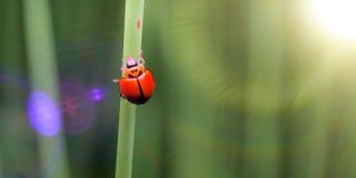 Ladybug στο φύλλο Στοκ Φωτογραφίες