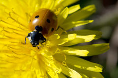 Ladybug στο dandilion Στοκ Εικόνες