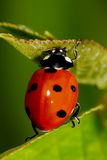 ladybug φύλλο στοκ φωτογραφία με δικαίωμα ελεύθερης χρήσης