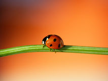 ladybug φύλλο στοκ φωτογραφίες