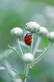 Ladybug бежать вперед на лезвии зеленой травы. Красивая природа Стоковые Изображения