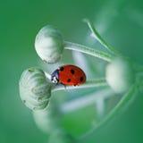 Ladybug бежать вперед на лезвии зеленой травы. Красивая природа Стоковая Фотография