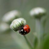 Ladybug бежать вперед на лезвии зеленой травы. Красивая природа Стоковое Фото