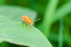 Ladybug бежать вперед Стоковые Фото