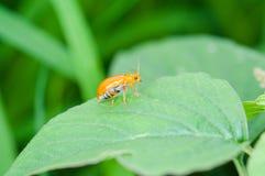 Ladybug бежать вперед Стоковые Изображения
