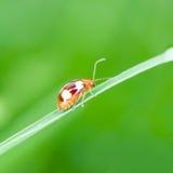 Ladybug бежать вперед Стоковое Фото