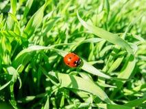 Ladybug бежать вдоль зеленой травы Стоковое Фото