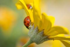 Ladybug вверх ногами Стоковое фото RF
