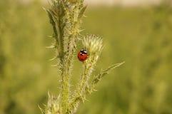 Ladybug взбираясь терний Стоковые Изображения RF