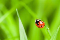 Ladybug вперед на лезвии зеленой травы Стоковая Фотография RF