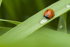 Ladybug выпивает воду от падения дождя стоковое фото rf