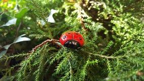 Ladybug в древесинах Стоковые Изображения