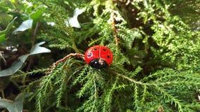 Ladybug в древесинах Стоковое Изображение RF