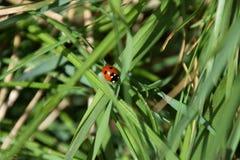 Ladybug в траве Стоковая Фотография