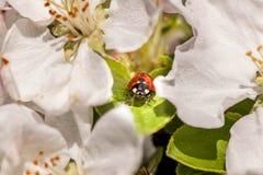 Ladybug в цветках Стоковое Изображение RF