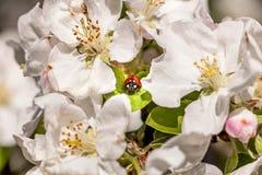 Ladybug в цветках Стоковые Изображения