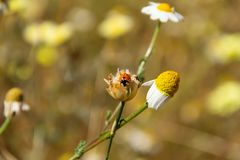 Ladybug в цветке маргаритки, весна здесь стоковое фото rf