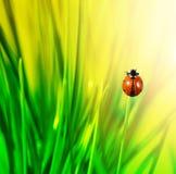 ladybug зеленого цвета травы Стоковые Изображения RF
