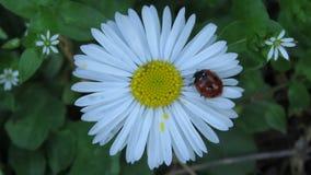Ladybug идя на цветок маргаритки Стоковое Изображение